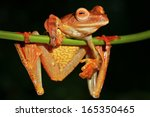 Small photo of Harlequin Flying Frog (Rhacophorus pardalis) perches and watches in the rain forests of Malaysian Borneo. Large webbed feet allow the frog to glide long distances through the air. Funny. Comical.