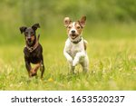 Parson Russell Terrier And...