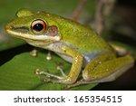 a white lipped frog  hylarana... | Shutterstock . vector #165354515
