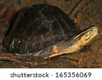 Small photo of Endangered Amboina Box Turtle (Cuora amboinensis) looks sideways at the camera n the jungles of Borneo. AKA Malayan or Malaysian or Southeast Asian Box Turtle. This is an unidentified subspecies.