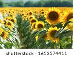 Beautiful Field And Rows Of...