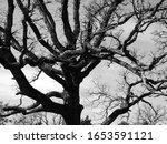 Black And White Gnarled Trees...