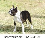 Small photo of A small, young, beautiful, black and white Boston Terrier dog standing on the lawn, aka Boston Bull. Boston Terriers are highly intelligent and easily trainable.