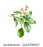 Watercolor Lime Branch....