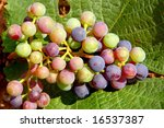 Colorful grapes on a vine leaf - stock photo