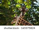 Cute Giraffes Among Green Trees ...