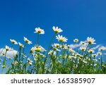 White Daisies On Blue Sky...