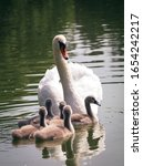 Swan With Its Baby Cygnets