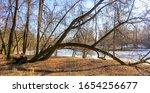 Crooked Tree Trunks In An...