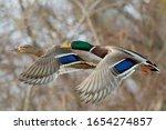 A Pair Of Mallard Ducks In Fast ...