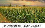 Green Corn Field In...