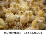 Young Yellow Chicks In...