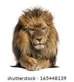 Front View Of A Lion Lying ...