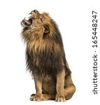 Stock photo lion roaring sitting panthera leo years old isolated on white 165448247