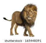 Stock photo side view of a lion walking panthera leo years old isolated on white 165448391