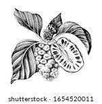 hand drawn vector noni branch....   Shutterstock .eps vector #1654520011