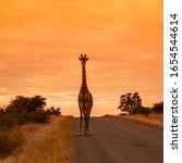Giraffe Standing Front View On...