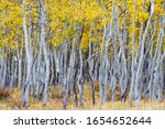 Changing aspen trees - autumn on the Tenderfoot Trail near Dillon, Summit County, Colorado.