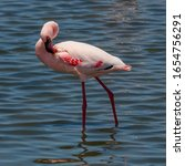 Small photo of A Lesser Flamingo in the Lagoon of Walvisbaai, a Coastal Town in Namibia