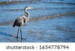 Great Blue Heron Bird Walking...
