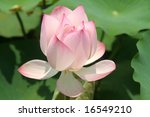 Lotus flower in an asian garden - stock photo