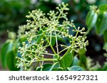 Flowers And Foliage Of True...