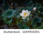 Beautiful White Lotus On Blur...