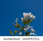 White Plumbago Auriculata ...