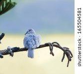 collared dove   streptopelia... | Shutterstock . vector #165504581
