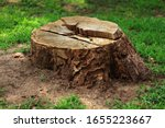 Tree Stump In The Forest