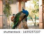 Beautiful Peacock. Peacock...