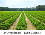Green spring fields with rows of organic strawberry plants - stock photo