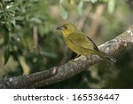 olive green tanager  orthogonys ...   Shutterstock . vector #165536447