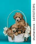 Cute Toy Poodle Puppies Posing...