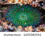 Giant Green Anemone Under Wate...