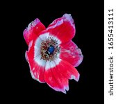 Single Isolated Red Anemone...
