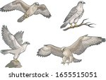Set Of Four Falcons In Color....