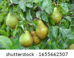 In The Orchard  Pears Ripen On...
