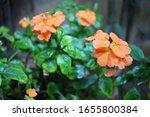 Rainfalls On Orange Crossandra...