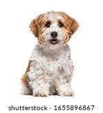 Sitting Puppy Havanese Dog...