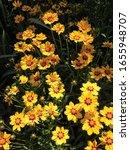 Yellow Lanceleaf Coreopsis...