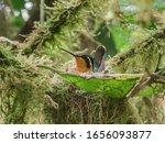 Humminbird On It Nest Looking...