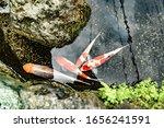 japanese carp  koi fish ... | Shutterstock . vector #1656241591