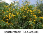 Mexican Sunflower  Bua Tong  ...