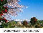 Cherry Blossoms  Camellia...