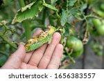 Septoria Leaf Spot On Tomato....