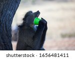 A Baboon Tries To Get The Last...