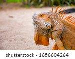 A Large Orange Iguana Living In ...