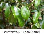 Ceylon Cinnamon Leaves In...