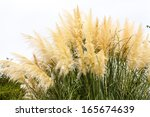 Feathery Grass Background...